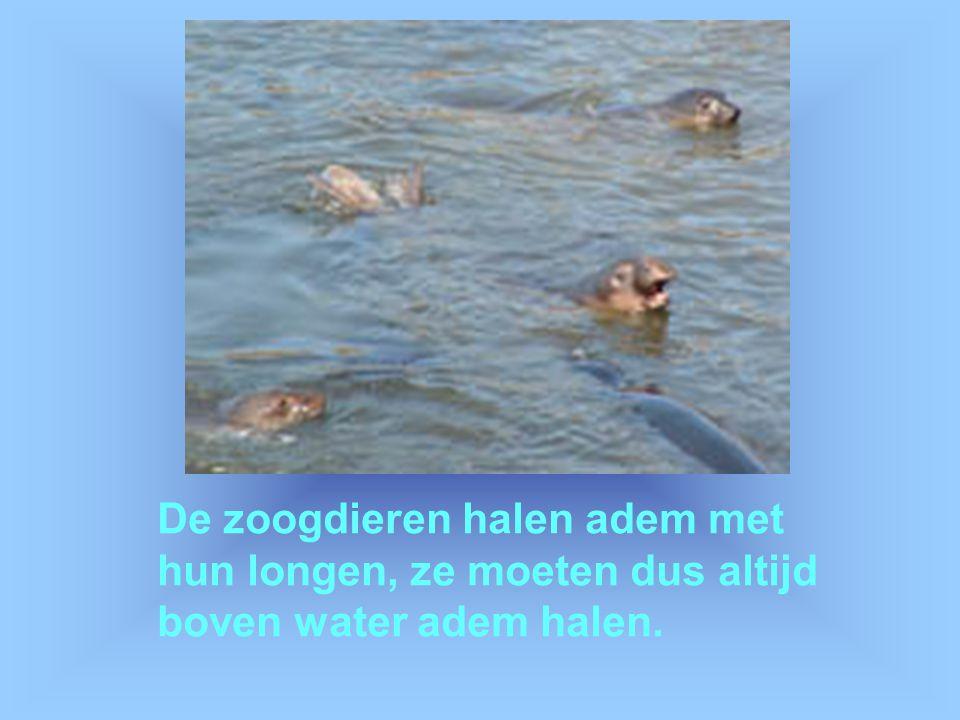 De zoogdieren halen adem met hun longen, ze moeten dus altijd boven water adem halen.