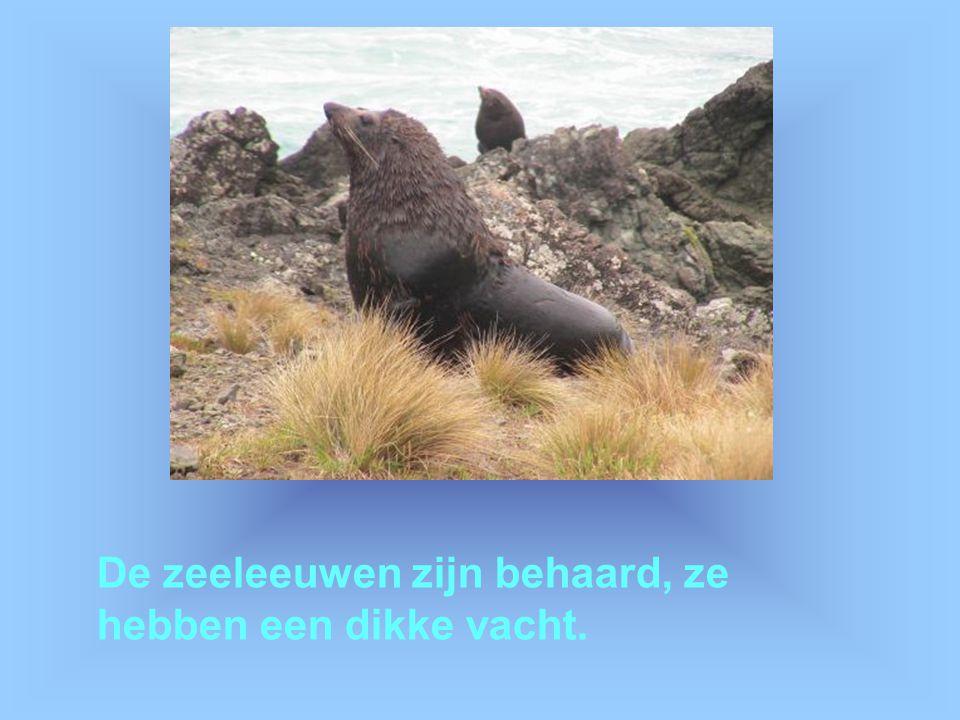 De zeeleeuwen zijn behaard, ze hebben een dikke vacht.