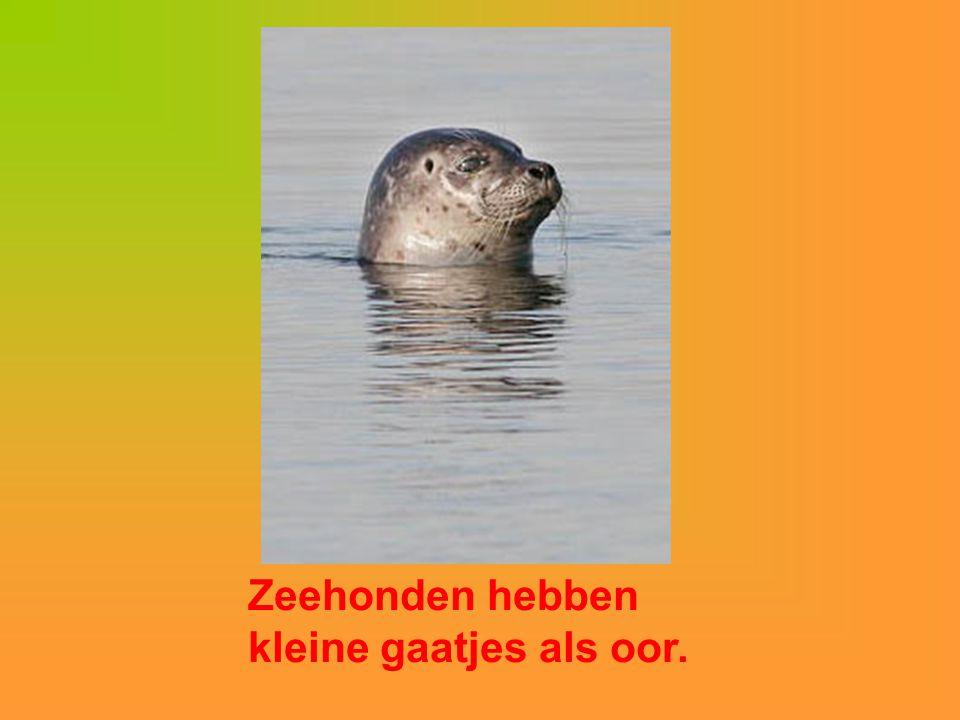 Zeehonden hebben kleine gaatjes als oor.