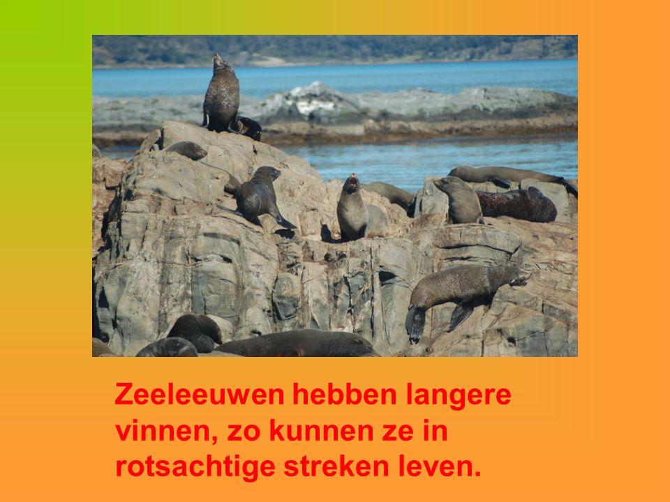 Zeeleeuwen hebben langere vinnen, zo kunnen ze in rotsachtige streken leven.