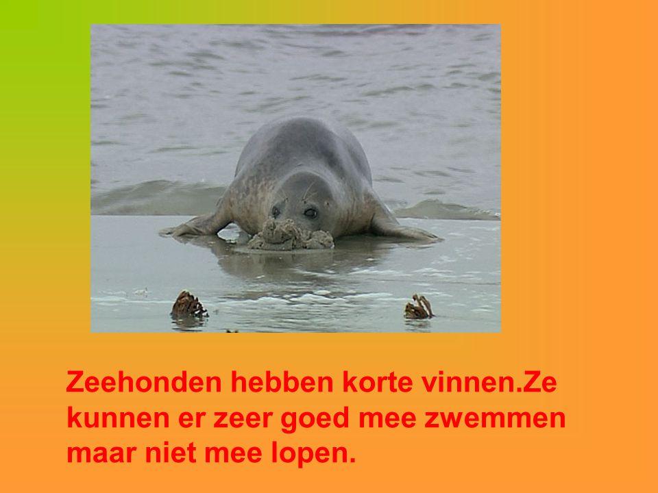 Zeehonden hebben korte vinnen.Ze kunnen er zeer goed mee zwemmen maar niet mee lopen.