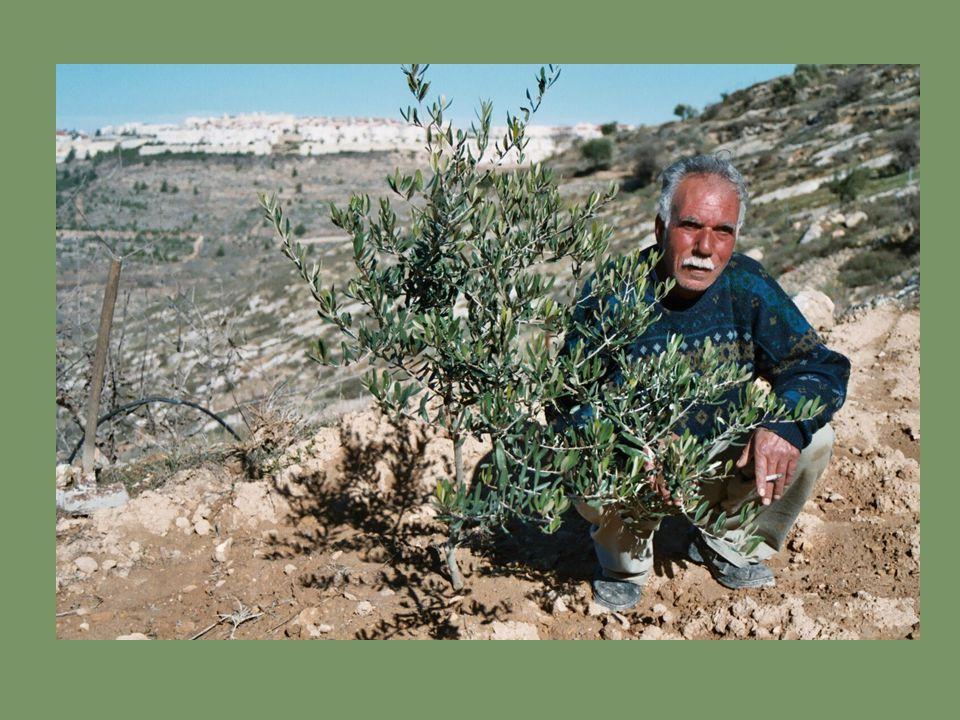 Het 1 e plantseizoen vond plaats tussen december 2002 en maart 2003: Olijfbomen werden in de regio Bethlehem geplant.