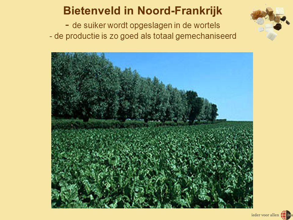 Bietenveld in Noord-Frankrijk - de suiker wordt opgeslagen in de wortels - de productie is zo goed als totaal gemechaniseerd