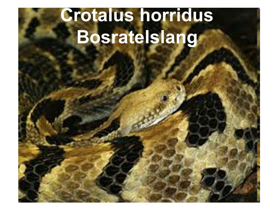Crotalus horridus Bosratelslang