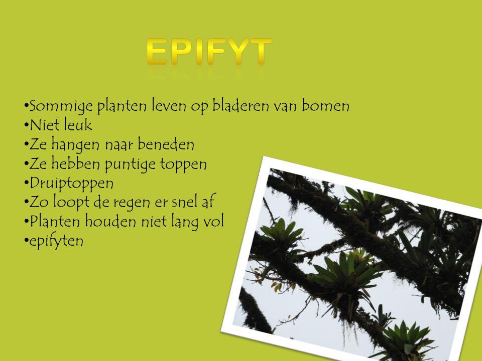 •B•Bromelia's: •B•Bromelia's ander trucje •H•Hun bladeren zijn een schaaltje •B•Bij regen valt de regen er in