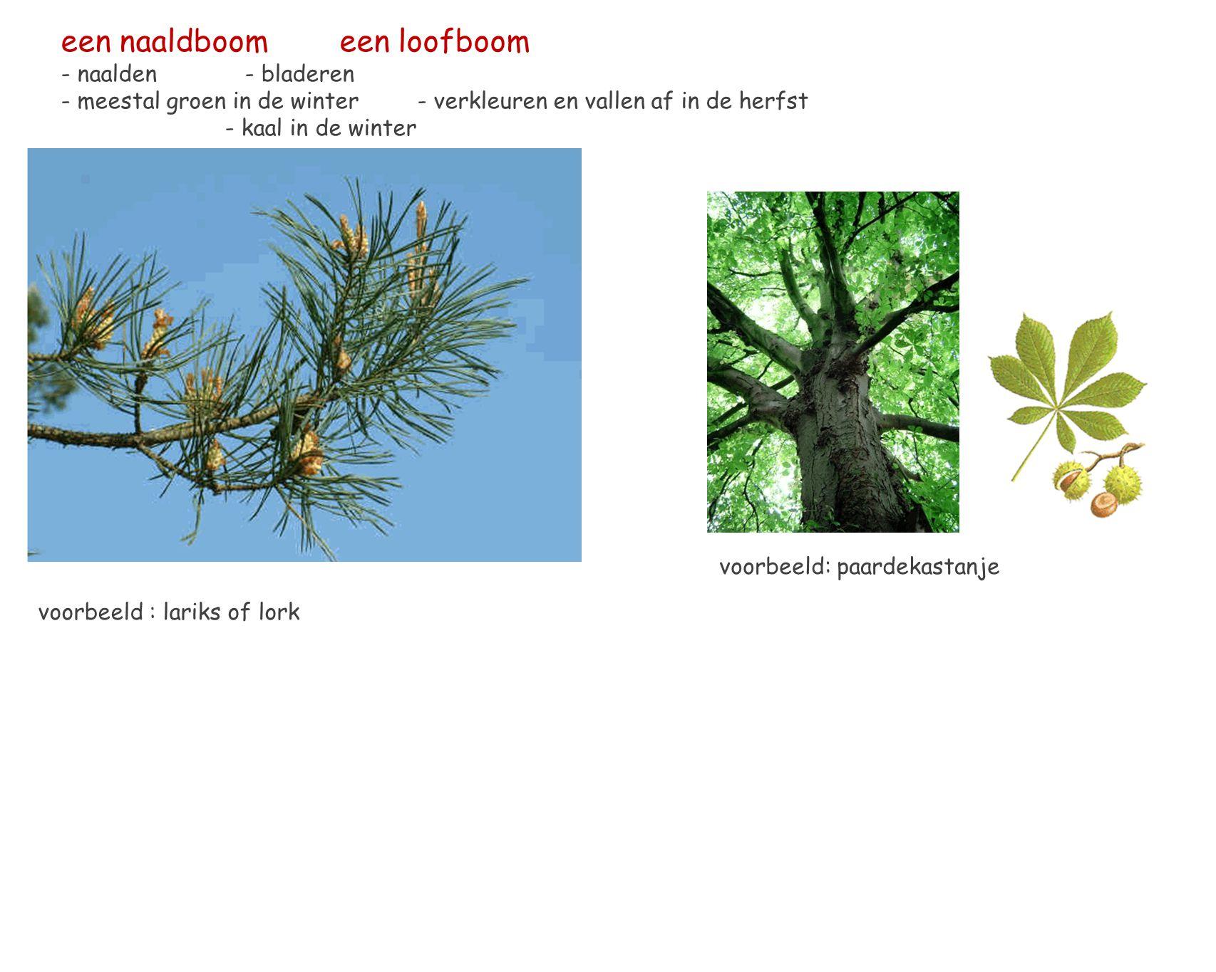 een naaldboom een loofboom - naalden - bladeren - meestal groen in de winter - verkleuren en vallen af in de herfst - kaal in de winter voorbeeld: paardekastanje voorbeeld : lariks of lork