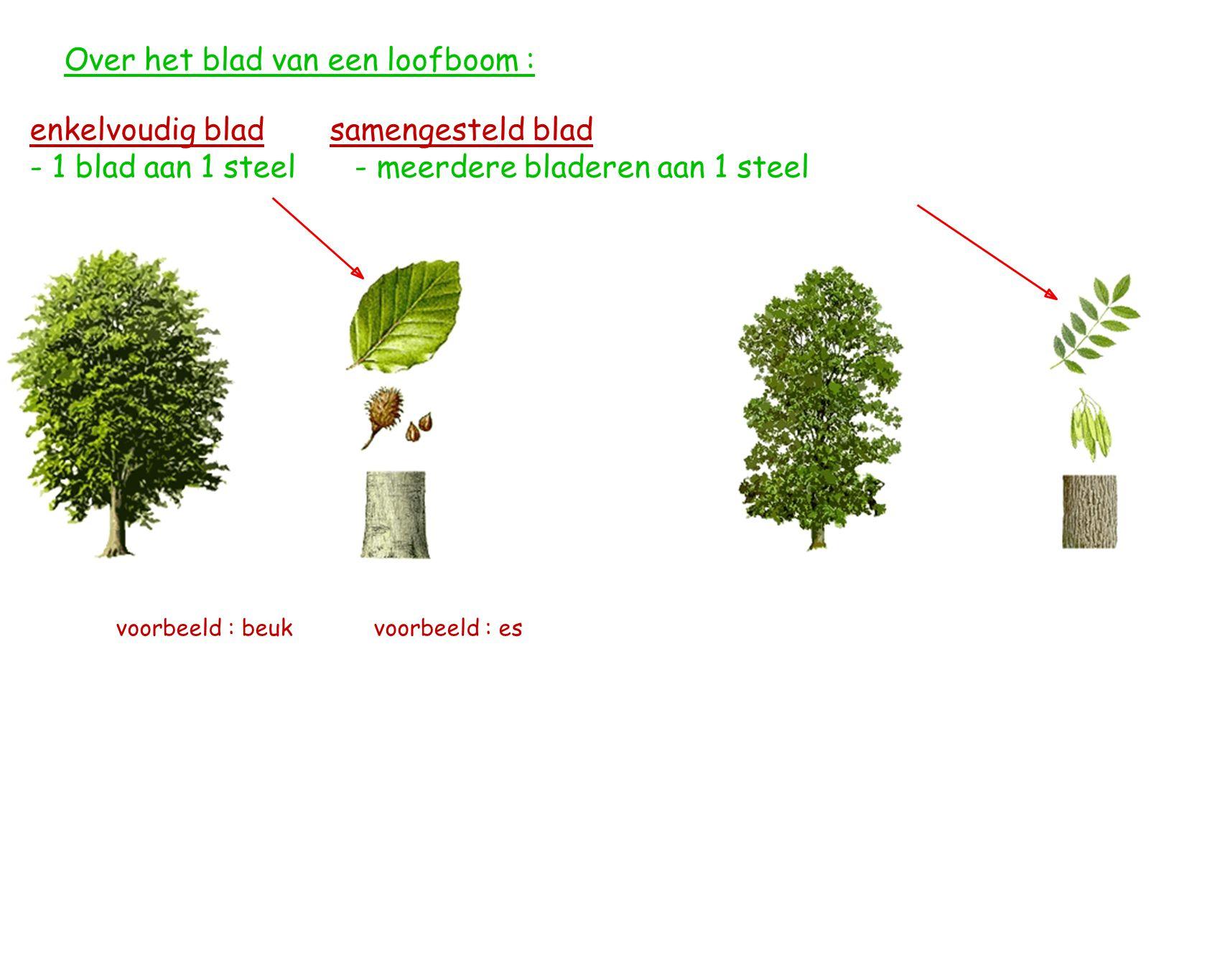 Over het blad van een loofboom : enkelvoudig blad samengesteld blad - 1 blad aan 1 steel - meerdere bladeren aan 1 steel voorbeeld : beuk voorbeeld : es
