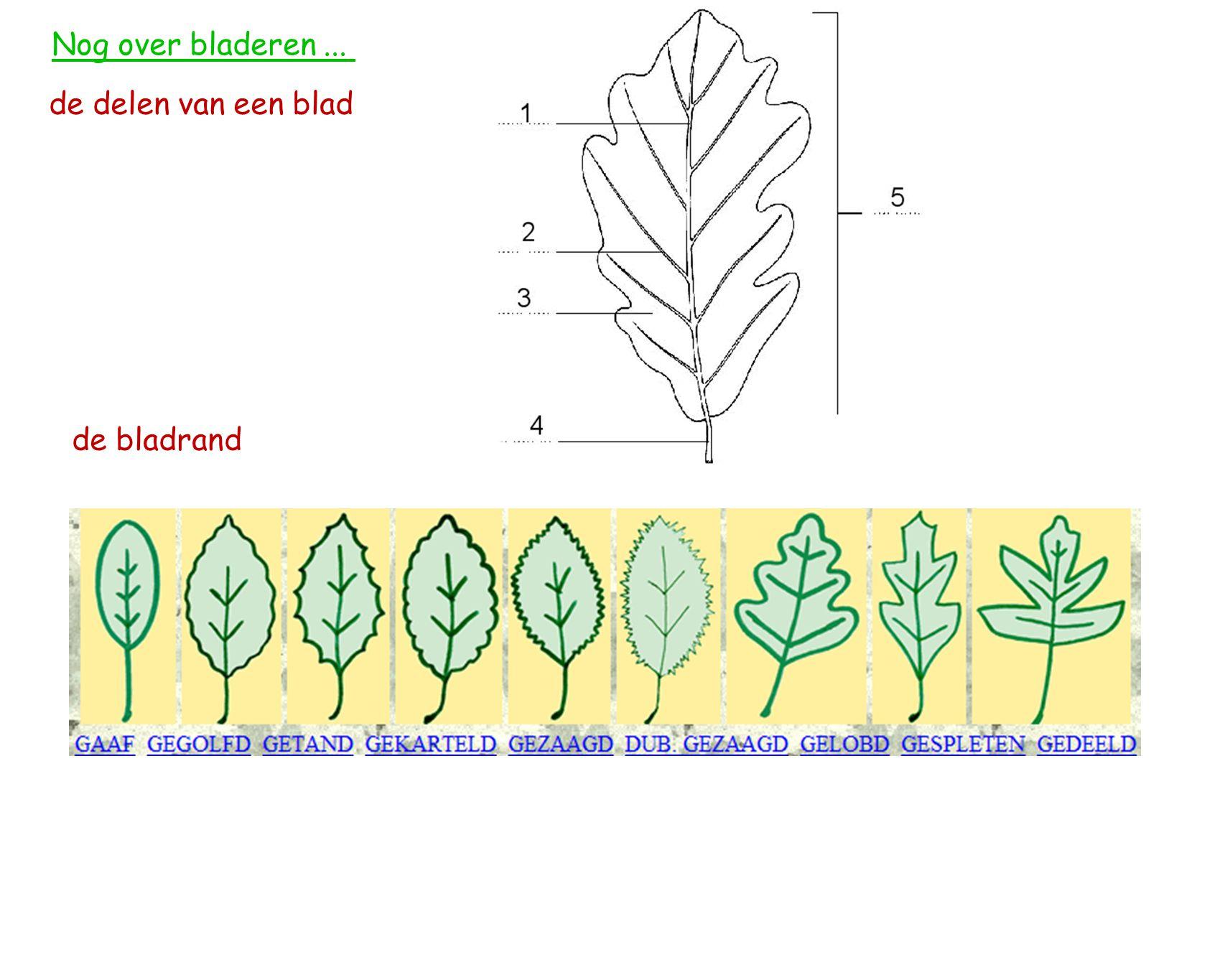 Nog over bladeren... de delen van een blad de bladrand