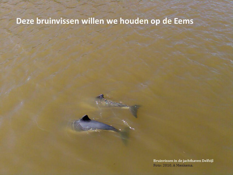 34 Deze bruinvissen willen we houden op de Eems Bruinvissen in de jachthaven Delfzijl Foto: 2010. A Menkema.