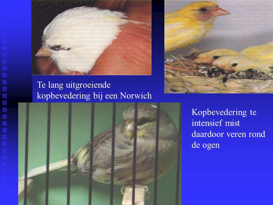 Te lang uitgroeiende kopbevedering bij een Norwich Kopbevedering te intensief mist daardoor veren rond de ogen