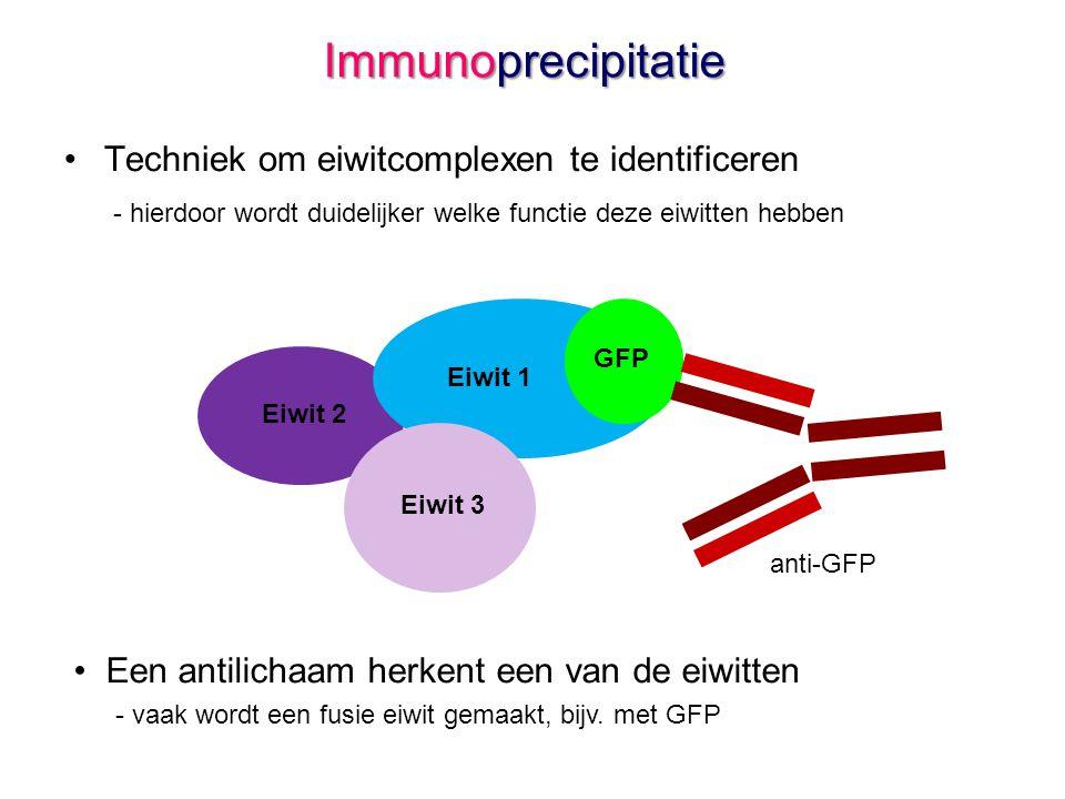 Immunoprecipitatie •Techniek om eiwitcomplexen te identificeren - hierdoor wordt duidelijker welke functie deze eiwitten hebben • Een antilichaam herkent een van de eiwitten - vaak wordt een fusie eiwit gemaakt, bijv.