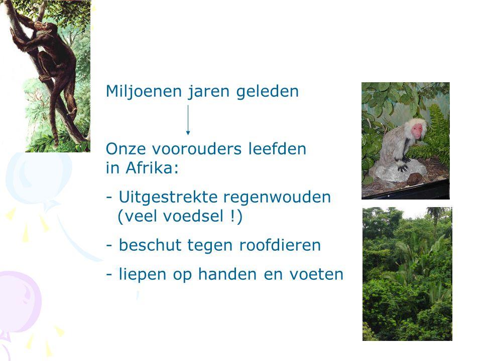 Miljoenen jaren geleden Onze voorouders leefden in Afrika: - Uitgestrekte regenwouden (veel voedsel !) - beschut tegen roofdieren - liepen op handen e