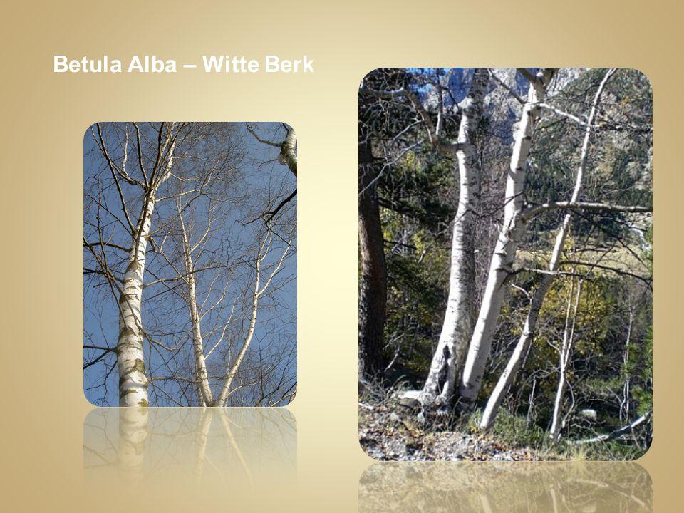 Betula Alba – Witte Berk