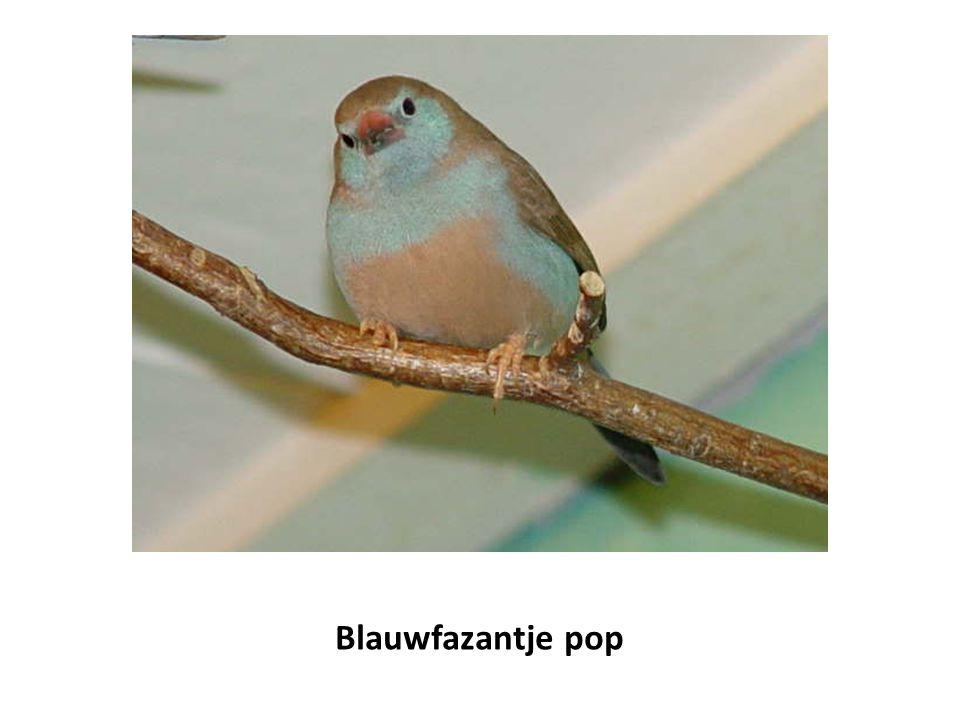 Blauwfazantje pop