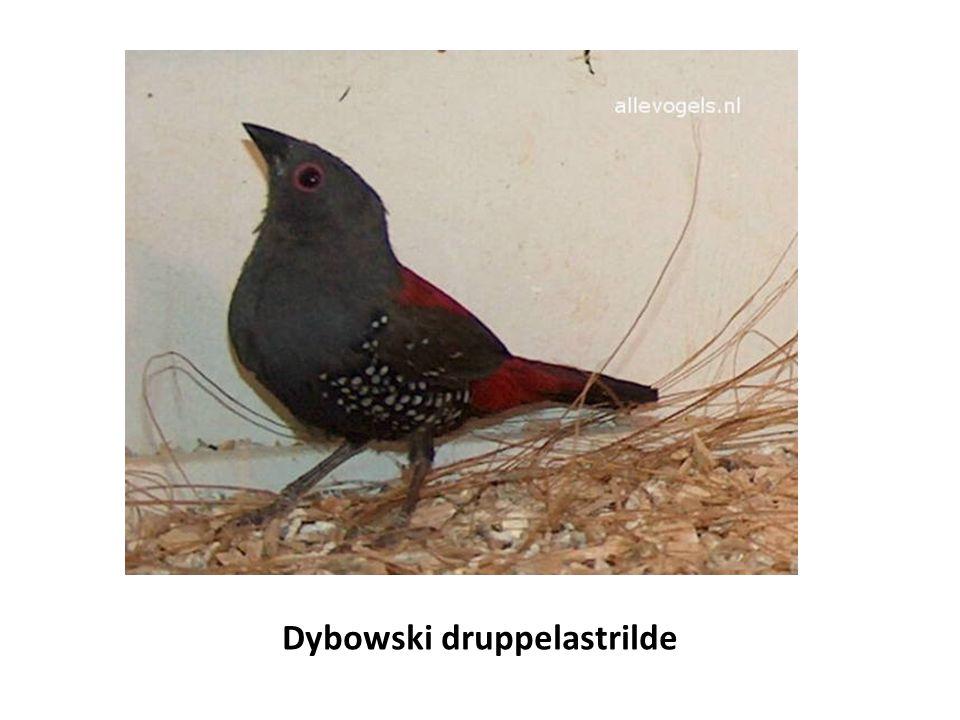 Dybowski druppelastrilde