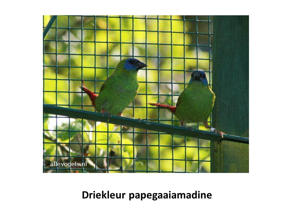 Driekleur papegaaiamadine