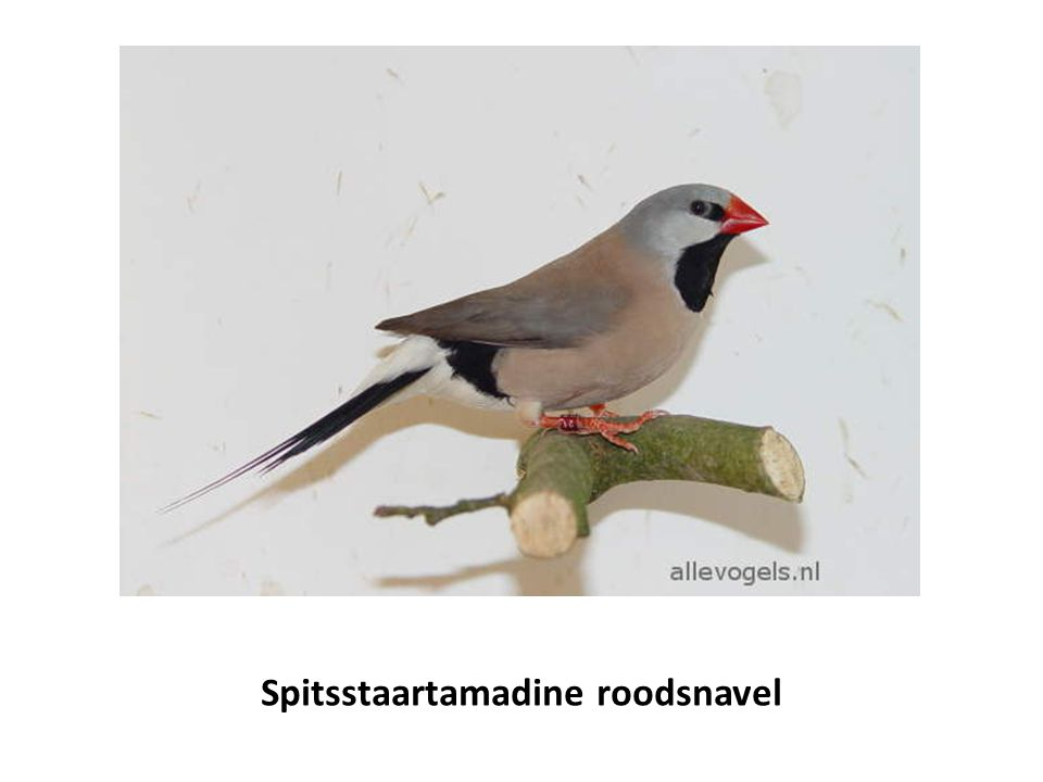 Spitsstaartamadine roodsnavel