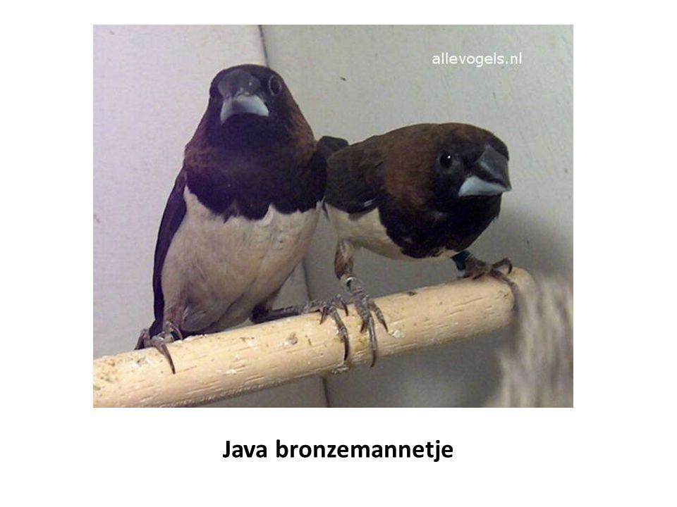 Java bronzemannetje