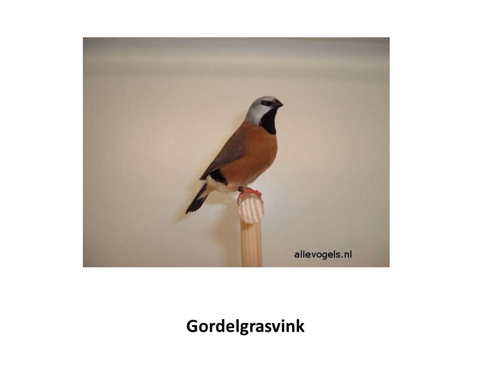 Gordelgrasvink