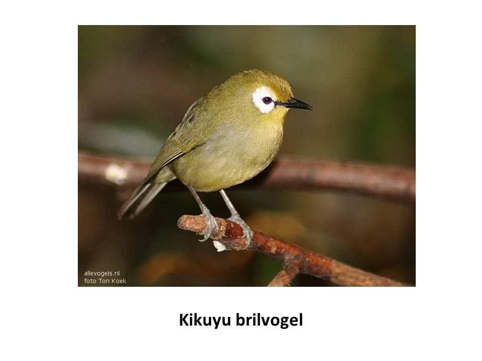 Kikuyu brilvogel