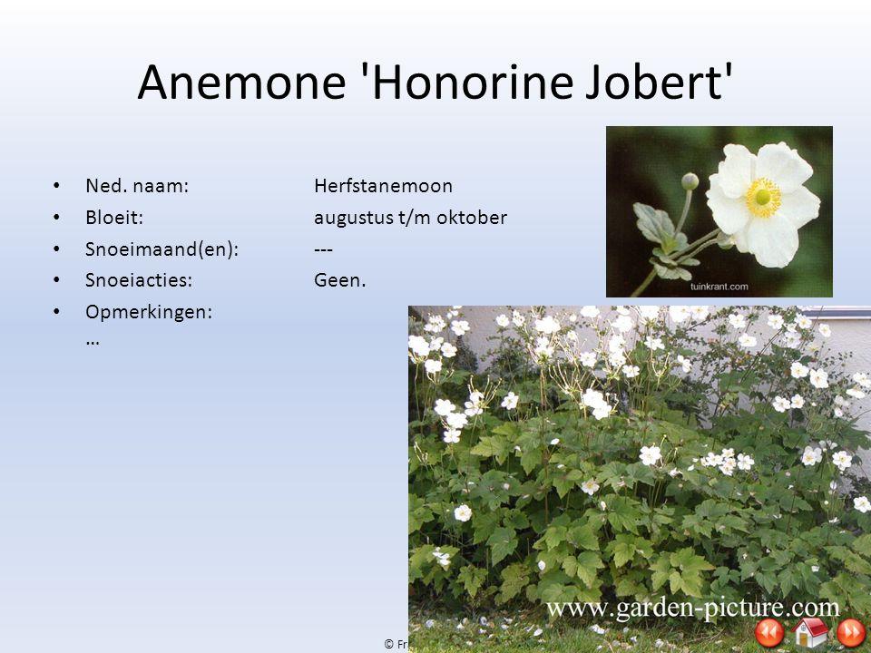 © Frank & Jan, 2009 Anemone 'Honorine Jobert' • Ned. naam:Herfstanemoon • Bloeit:augustus t/m oktober • Snoeimaand(en):--- • Snoeiacties:Geen. • Opmer