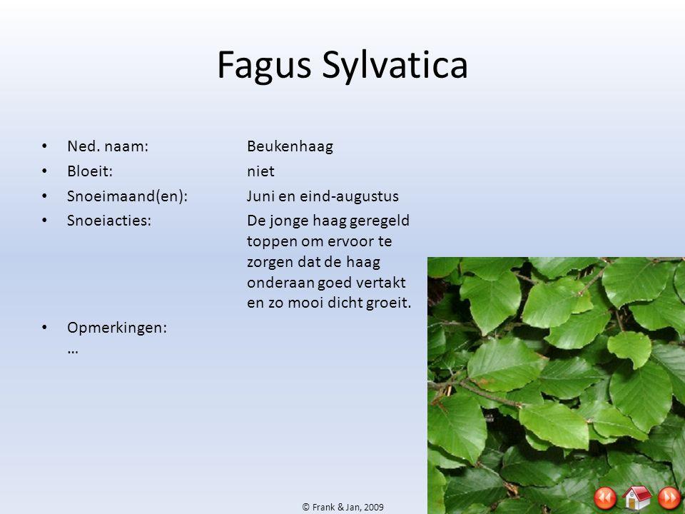 © Frank & Jan, 2009 Fagus Sylvatica • Ned. naam:Beukenhaag • Bloeit:niet • Snoeimaand(en):Juni en eind-augustus • Snoeiacties:De jonge haag geregeld t