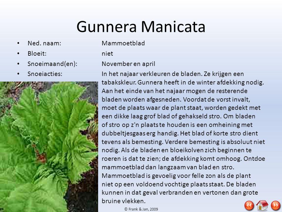 © Frank & Jan, 2009 Gunnera Manicata • Ned. naam:Mammoetblad • Bloeit:niet • Snoeimaand(en):November en april • Snoeiacties:In het najaar verkleuren d