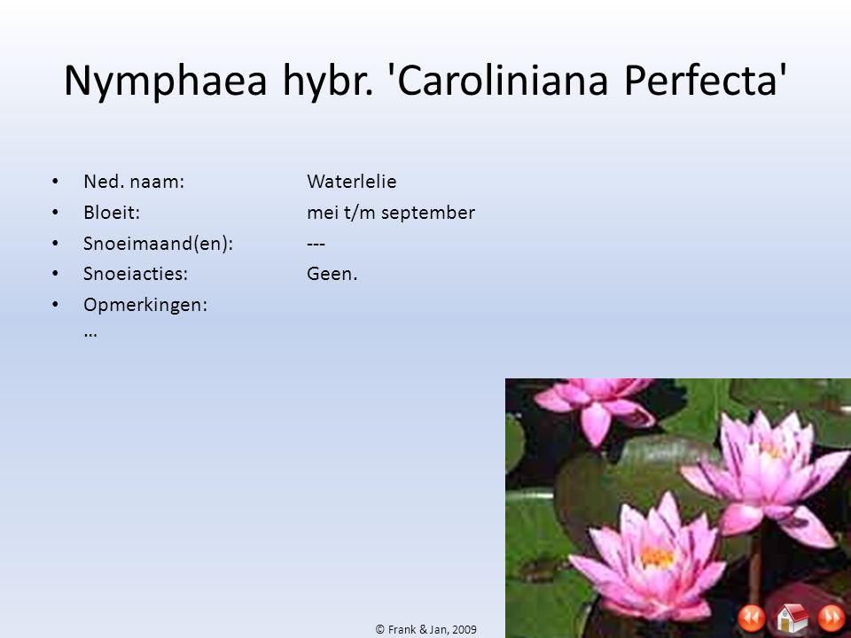 © Frank & Jan, 2009 Nymphaea hybr. 'Caroliniana Perfecta' • Ned. naam:Waterlelie • Bloeit:mei t/m september • Snoeimaand(en):--- • Snoeiacties:Geen. •
