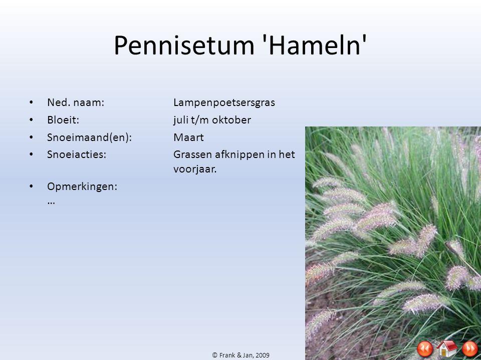 © Frank & Jan, 2009 Pennisetum 'Hameln' • Ned. naam:Lampenpoetsersgras • Bloeit:juli t/m oktober • Snoeimaand(en):Maart • Snoeiacties:Grassen afknippe