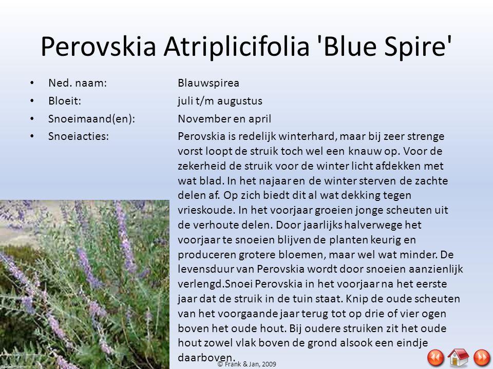 © Frank & Jan, 2009 Perovskia Atriplicifolia 'Blue Spire' • Ned. naam:Blauwspirea • Bloeit:juli t/m augustus • Snoeimaand(en):November en april • Snoe