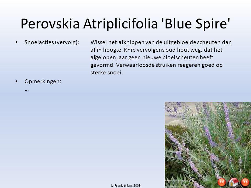 © Frank & Jan, 2009 Perovskia Atriplicifolia 'Blue Spire' • Snoeiacties (vervolg):Wissel het afknippen van de uitgebloeide scheuten dan af in hoogte.