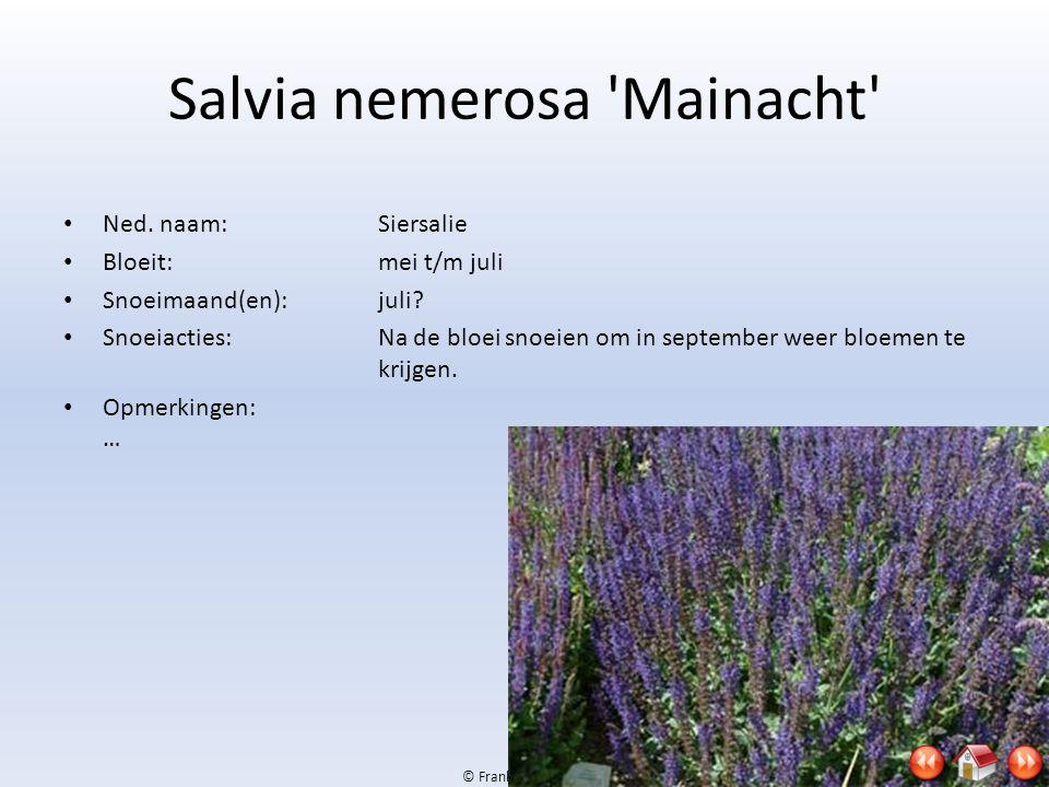 © Frank & Jan, 2009 Salvia nemerosa 'Mainacht' • Ned. naam:Siersalie • Bloeit:mei t/m juli • Snoeimaand(en):juli? • Snoeiacties:Na de bloei snoeien om