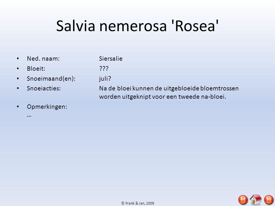 © Frank & Jan, 2009 Salvia nemerosa 'Rosea' • Ned. naam:Siersalie • Bloeit:??? • Snoeimaand(en):juli? • Snoeiacties:Na de bloei kunnen de uitgebloeide