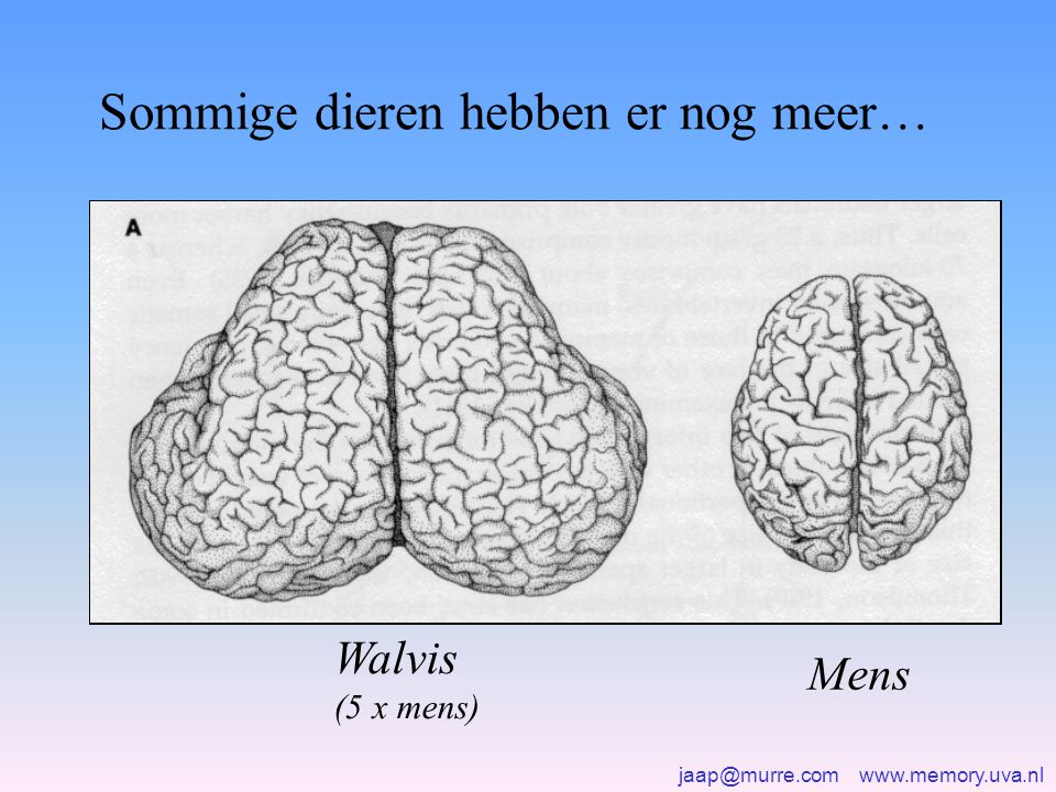 jaap@murre.com www.memory.uva.nl Waar bevindt zich precies het geheugen.