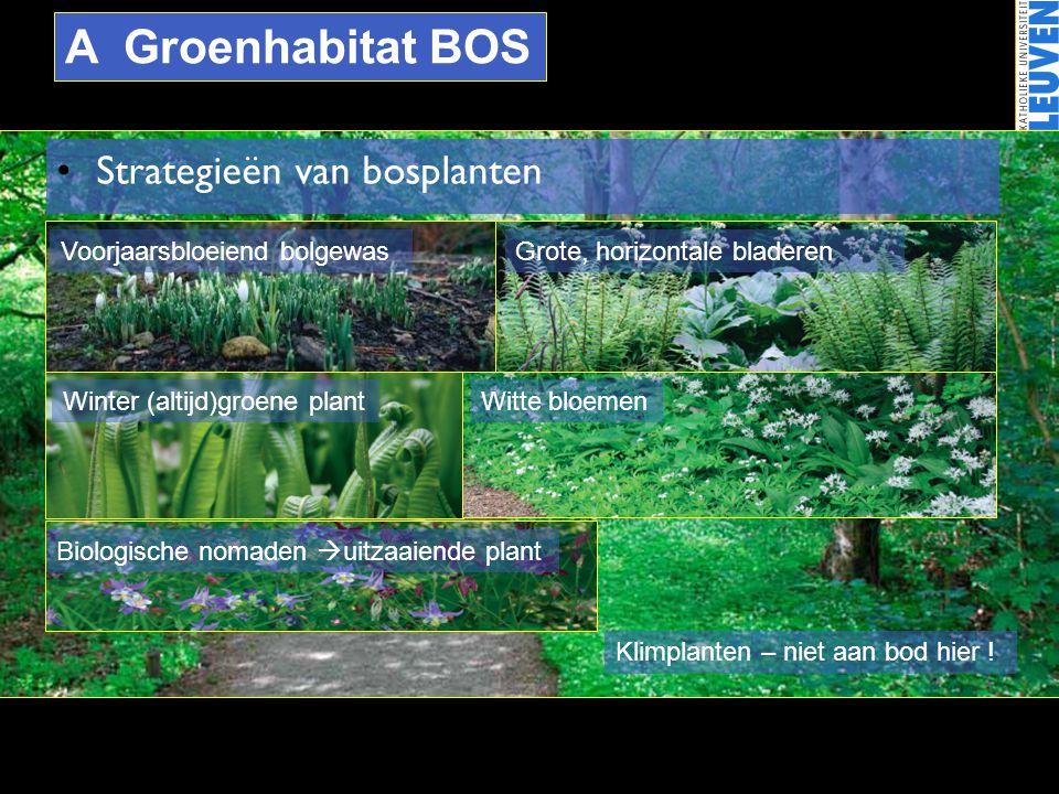 A Groenhabitat BOS •Strategieën van bosplanten Voorjaarsbloeiend bolgewasGrote, horizontale bladeren Winter (altijd)groene plantWitte bloemen Biologis