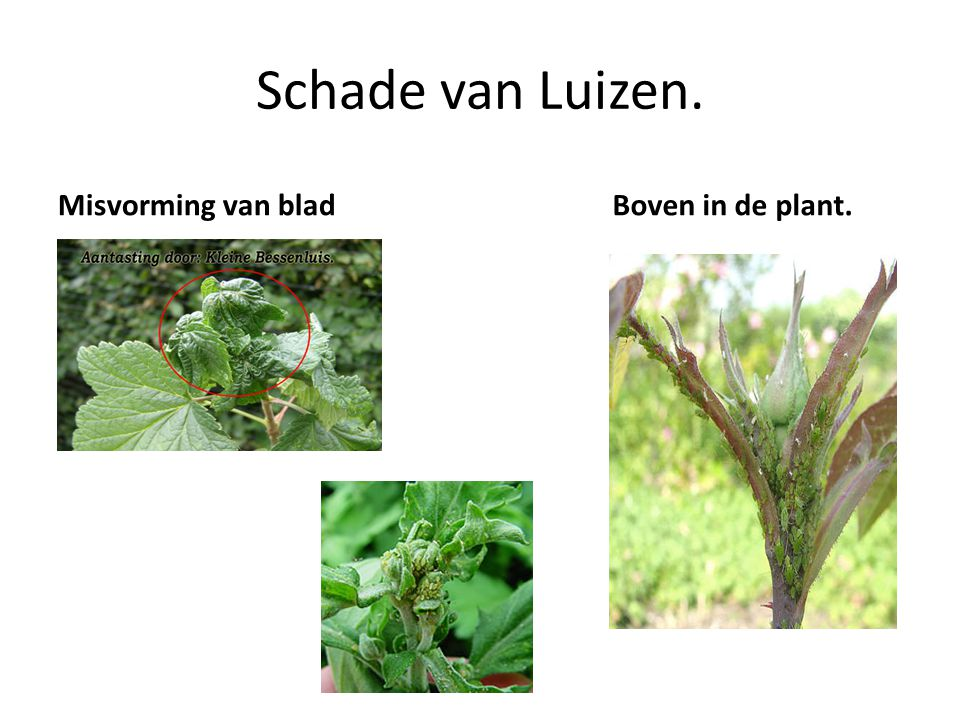 Schade van Luizen. Misvorming van blad Boven in de plant.