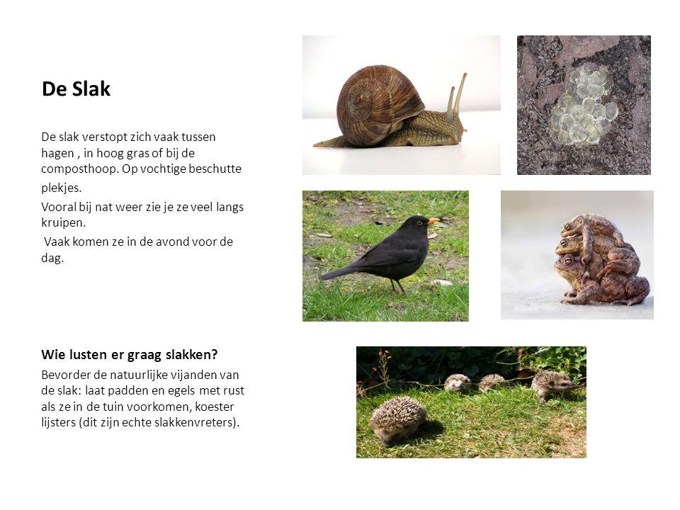 De Slak De slak verstopt zich vaak tussen hagen, in hoog gras of bij de composthoop.