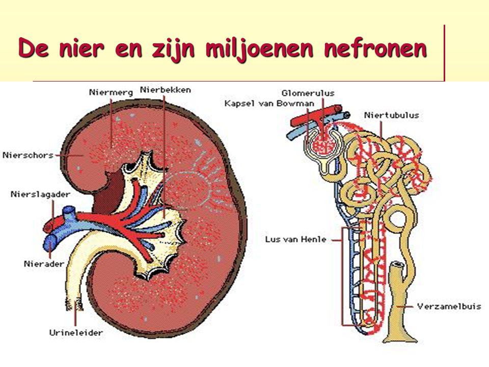De nier en zijn miljoenen nefronen