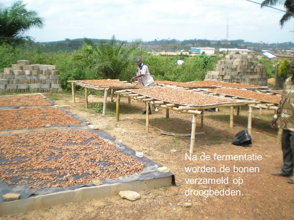 Na de fermentatie worden de bonen verzameld op droogbedden.