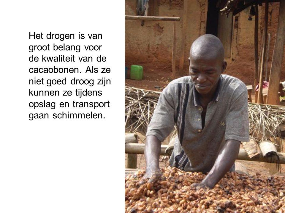 Het drogen is van groot belang voor de kwaliteit van de cacaobonen. Als ze niet goed droog zijn kunnen ze tijdens opslag en transport gaan schimmelen.