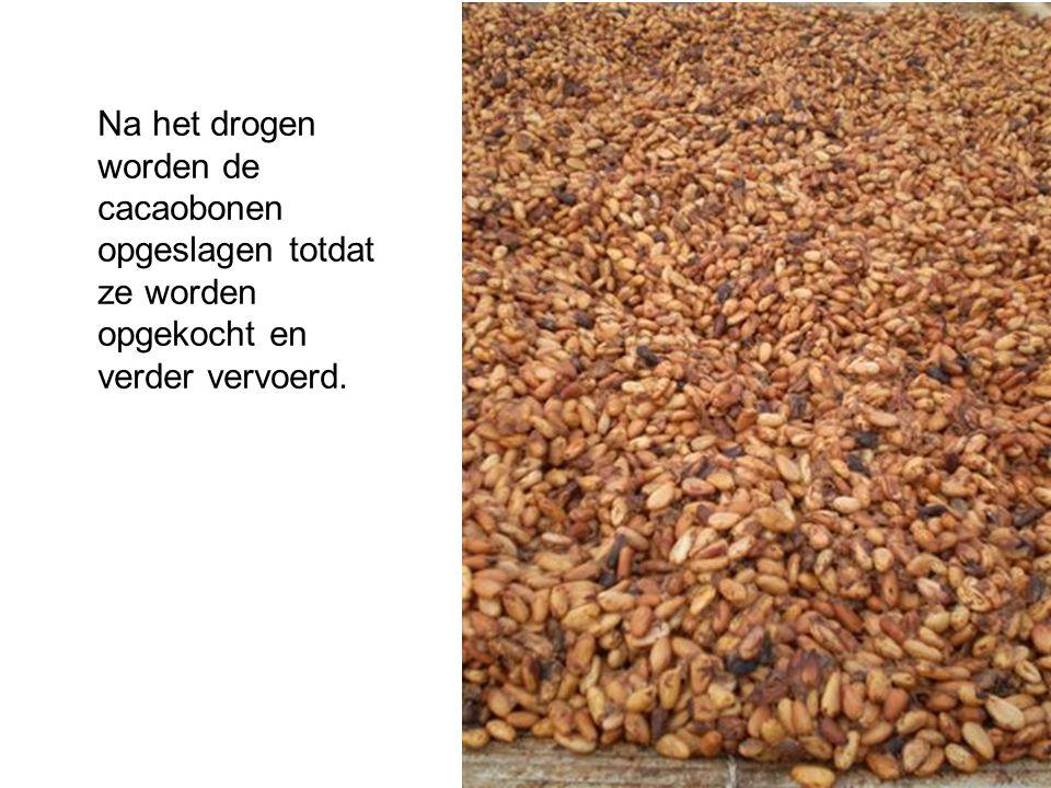 Na het drogen worden de cacaobonen opgeslagen totdat ze worden opgekocht en verder vervoerd.