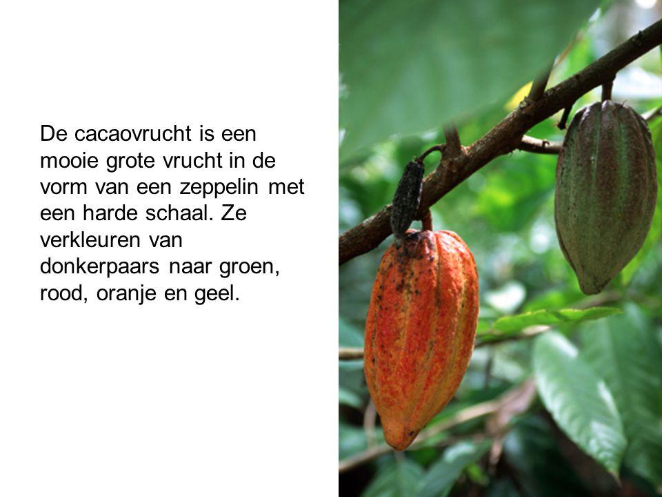 De cacaovrucht is een mooie grote vrucht in de vorm van een zeppelin met een harde schaal. Ze verkleuren van donkerpaars naar groen, rood, oranje en g