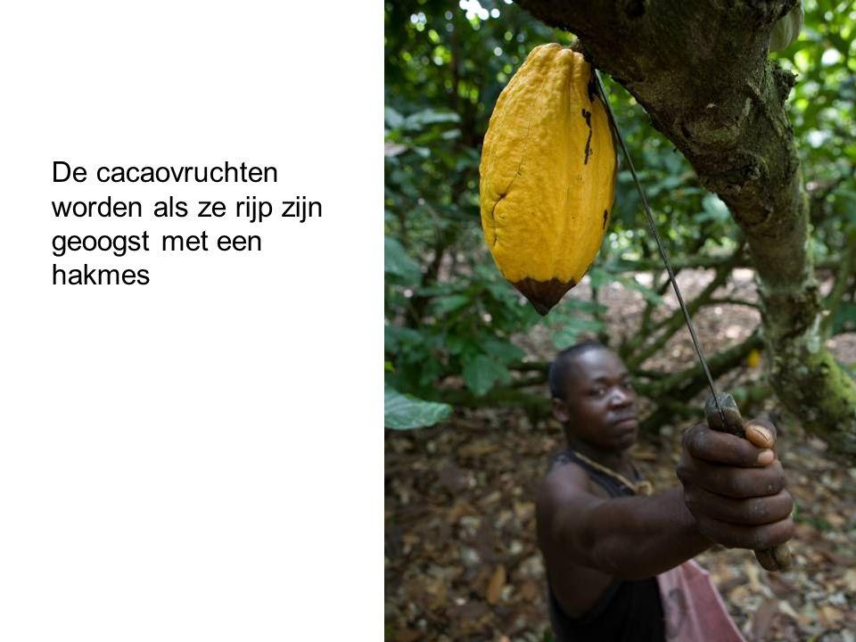 De cacaovruchten worden als ze rijp zijn geoogst met een hakmes
