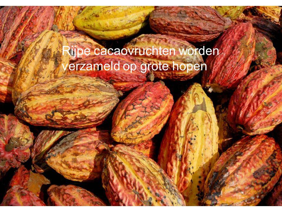 Rijpe cacaovruchten worden verzameld op grote hopen