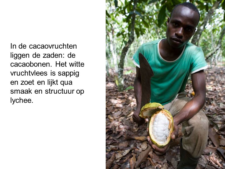 In de cacaovruchten liggen de zaden: de cacaobonen. Het witte vruchtvlees is sappig en zoet en lijkt qua smaak en structuur op lychee.