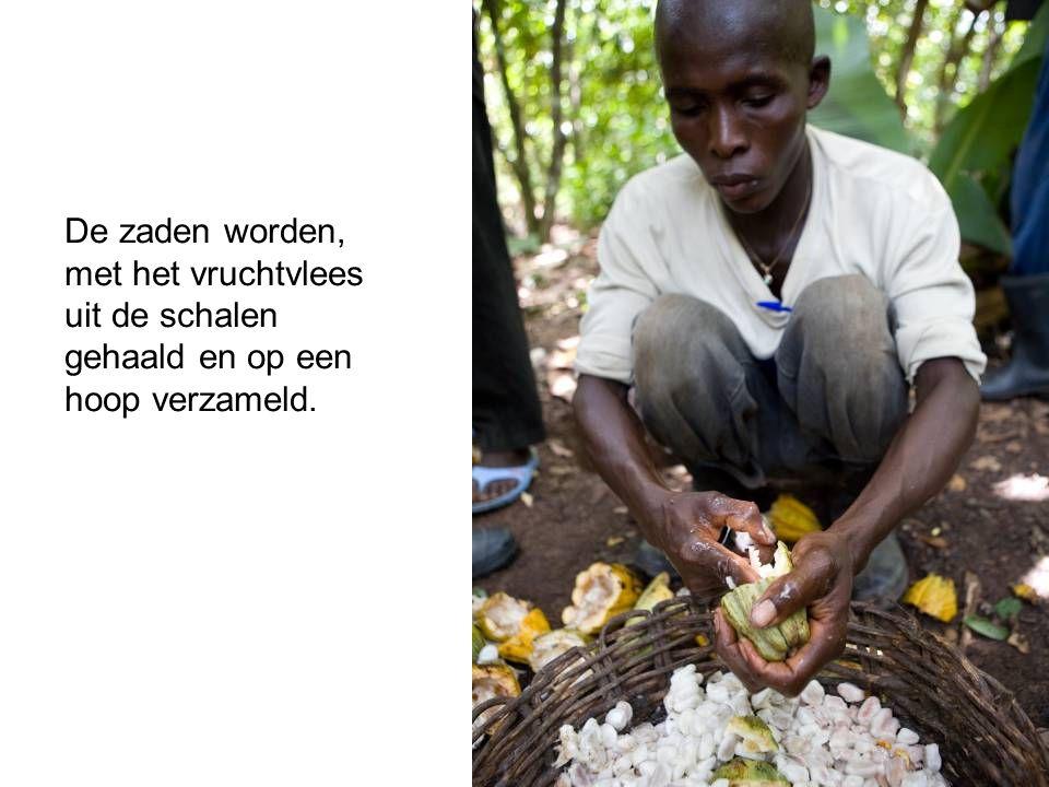 De zaden worden, met het vruchtvlees uit de schalen gehaald en op een hoop verzameld.