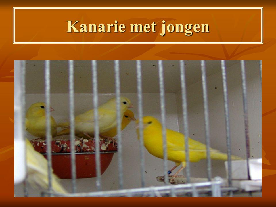 Voeding voor jonge vogels en tijdens de zang- en wedstrijdperiode  Hoofdmenu: Canadees raapzaad + Marokkaans platzaad + wat lijnzaad.