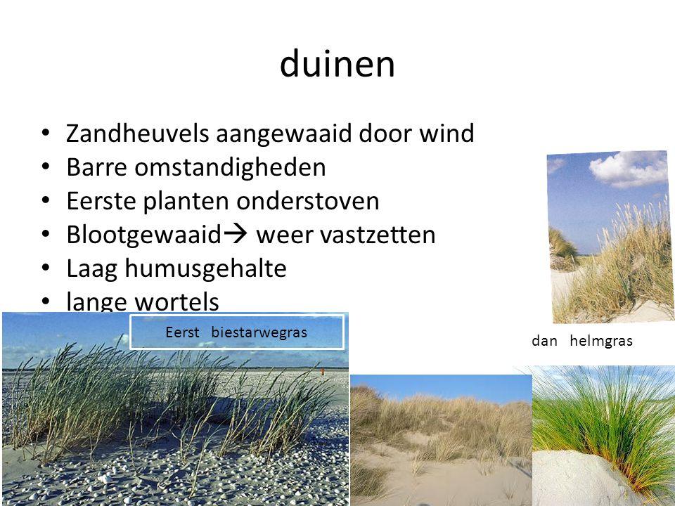 duinen • Zandheuvels aangewaaid door wind • Barre omstandigheden • Eerste planten onderstoven • Blootgewaaid  weer vastzetten • Laag humusgehalte • l
