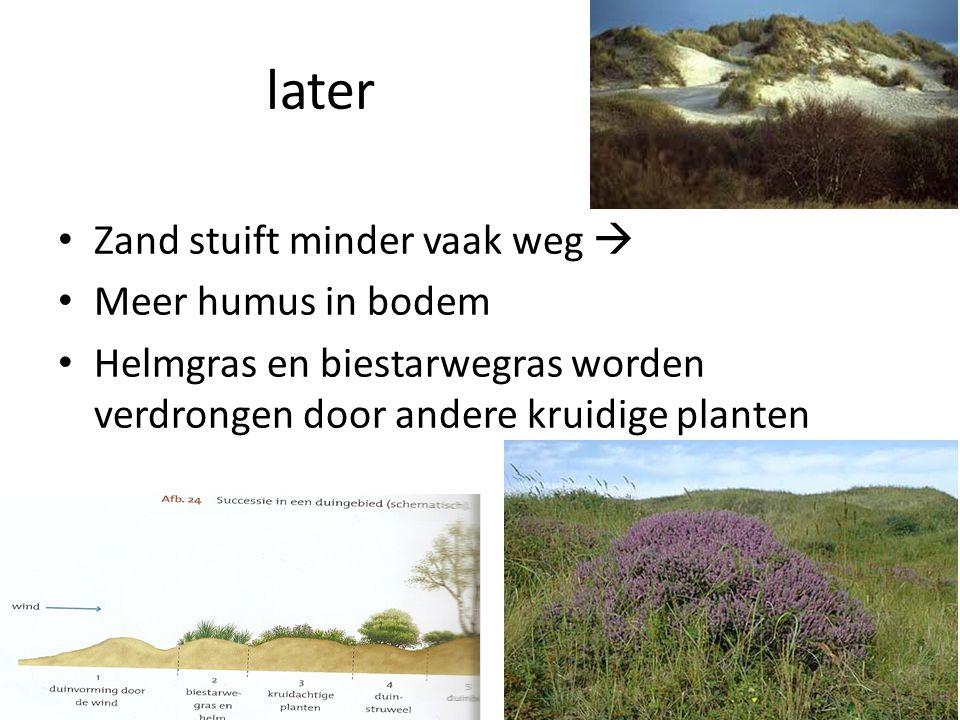 later • Zand stuift minder vaak weg  • Meer humus in bodem • Helmgras en biestarwegras worden verdrongen door andere kruidige planten