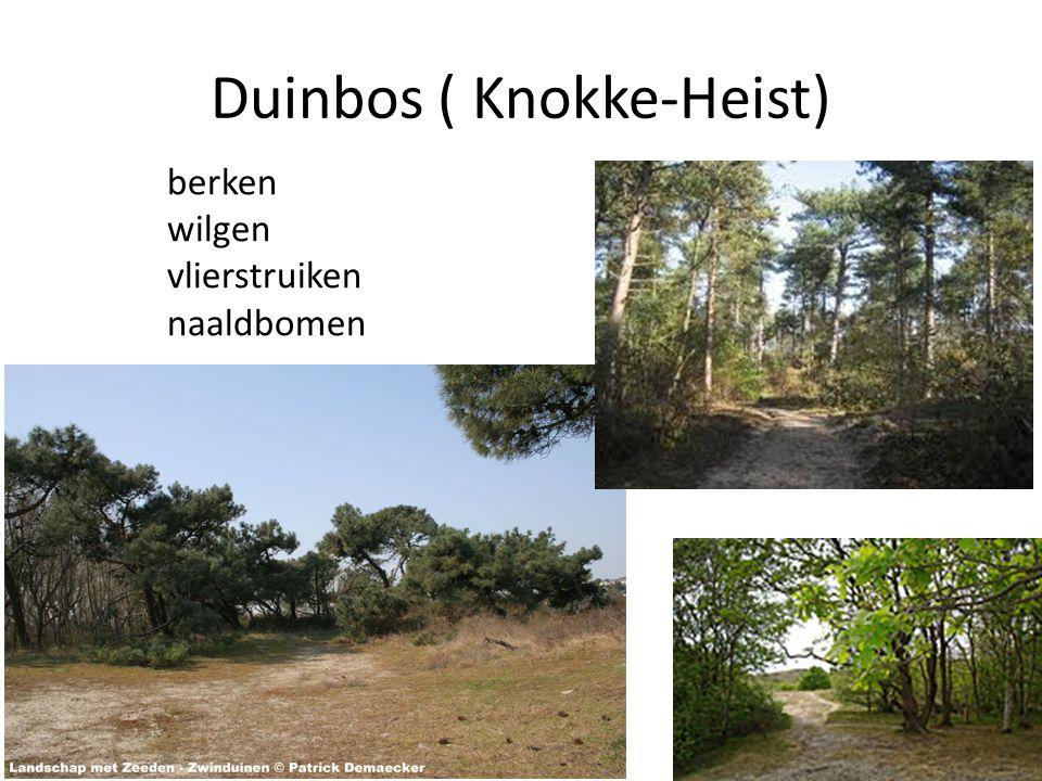 Duinbos ( Knokke-Heist) berken wilgen vlierstruiken naaldbomen